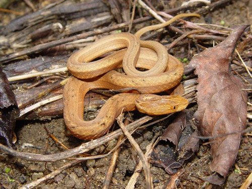 A Common Mock Viper, native to Asia. Snakes are among the more diverse groups of vertebrates, with nearly 3,000 species found worldwide. (Photo credit: John Wiens)