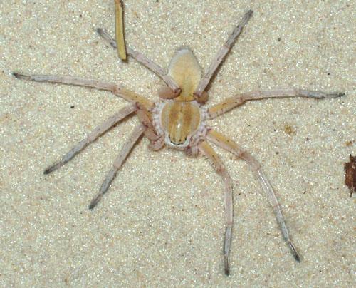 Die Spinne bleibt wohl dank spezieller Borstenbüschel an der Sandoberfläche. Image credit: © Senckenberg/Kunz