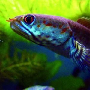 Dwarf Snakehead Fish. Image credit: © Henning Strack Hansen / WWF