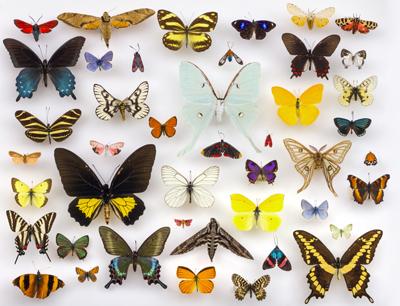 Das Abgrenzen, Beschreiben und Benennen von Arten – die Taxonomie – hinterlässt zu Unrecht einen etwas museal-verstaubten Eindruck. Im Bild eine Schmetterlingssammlung arrangiert von Julia Suits, fotografiert von Alex Wild: Schmetterlinge zählen zu den artenreichsten Insektenordnungen