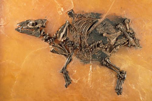 Trächtige Urpferdchen-Stute (Eurohippus messelensis). Image credit: © Senckenberg