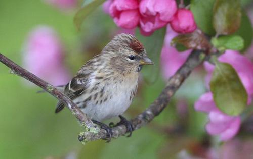 Der Birkenzeisig wird es durch die Folgen des Klimawandels schwerer haben. Image credit: © David Dillon/ BirdLife International