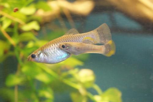 Die kleinen Fische der Art Poecilia mexicana sind ein Beleg für eine große Theorie. Image credit: © Pfenninger