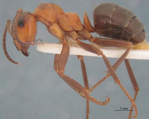 Seit 1971 hat sich die Anzahl der Ameisen mindestens verzwanzigfacht. Image credit: © Kiko Gómez & Xavier Espadaler