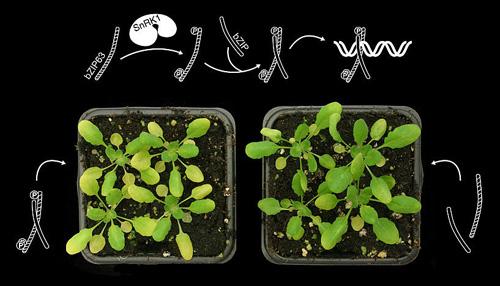 Modell der veränderten DNA-Bindung durch bZIP63 nach Phosphorylierung (oben) und Phäno-typ von bzip63 ko Mutanten mit einer normalen (phosphorylierbaren) Version von bZIP63 (links) und einer nicht-phosphorylierbaren Version von bZIP63 (rechts), die unter Energie-mangel (9 Tage Dunkelheit) noch immer grün bleibt (Image copyright: Markus Teige, Universität Wien).