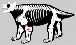 The inside story. The shoulder joint (1), humerus (2), knee-like elbow hinge (3), and a longer ulna (4) together make the case that Bunostegos stood with its legs under its body. Image credit: Brown University (Click image to enlarge)