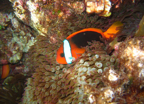 Red and Black Anemonefish (Amphiprion melanopus) in anemone (Entacmaea quadricolor). Steve's Bommie, Ribbon Reefs, Great Barrier Reef. Image credit: Richard Ling. Source: Wikimedia Commons (CC BY-SA 2.0)
