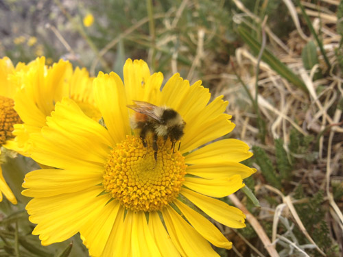 Bombus sylvicola is one of two bumblebee species in the central Rocky Mountains that has responded to a decline in flowering in alpine habitats by evolving a shorter tongue, an adaptation that favors generalist feeding. Image credit: Nicole Miller-Struttman