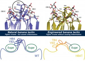 By studying the banana lectin molecule (top left) and what made it bind to both viruses and immune system cells (bottom left), the team was able to figure out how to change the way cells bind to it, to make a new version (top right) that still binds viruses but doesn't cause inflammation (bottom right). Image credit: University of Michigan (Click image to enlarge)