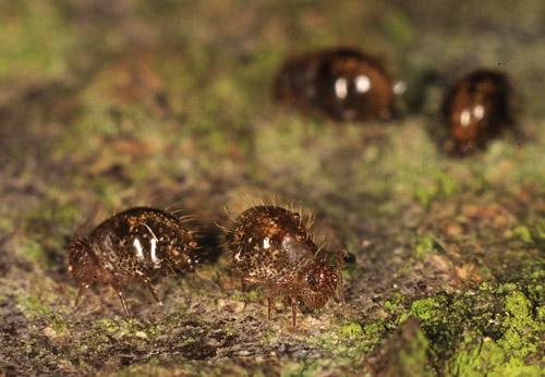"""Fühlen sich die kleinen Insekten bedroht, """"retten"""" sie sich mit Hilfe eines Sprungorgans. Image credit: © Andreas Stark, Ampyx-Verlag"""