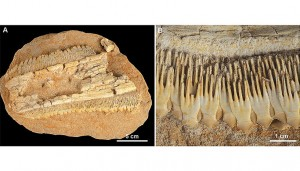 A. Fossiler Sägerochen (Schizorhiza stromeri) aus Marokko; B. Übereinander und verschachtelt liegende Zähne von Schizorhiza stromeri. Image copyright: Institut für Paläontologie, Universität Wien (Click image to enlarge)