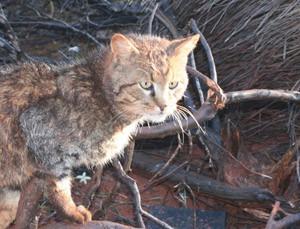 Katzen kamen mit europäischen Siedlern nach Australien. Image credit: © Katrin Koch