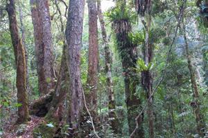 Zwei Waldgemeinschaften im Übergang: von Scheinbuchen dominierter, kühlgemäßigter Regenwald (links) und subtropischer Regenwald (rechts). Bild credit: Robert Kooyman