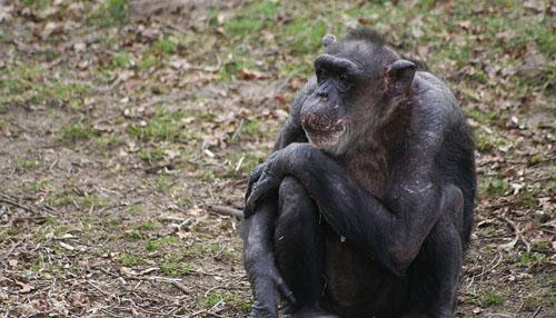 Schimpansen, die innerhalb der ersten beiden Lebensjahre von ihren Müttern getrennt wurden, sind noch Jahrzehnte später in ihrem sozialen Fellpflegeverhalten eingeschränkt (Image copyright: Jorg Massen).