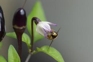 Schwebfliege an einer Chilli-Pflanze. Foto credit: Felix Fornoff