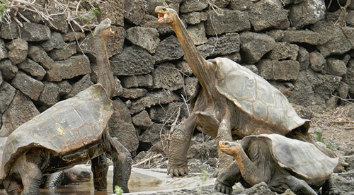 Two males get acquainted in their new homes. The one on the left, researchers say, is a spitting image of Lonesome George. (Photo by Joe Flanagan)