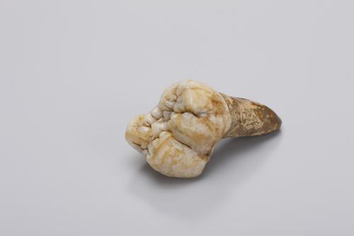 Großer Backenzahn von Gigantopithecus aus der Gustav Heinrich Ralph von Koenigswald-Sammlung  im Senckenberg Forschungsinstitut. Image credit: © Wolfgang Fuhrmannek