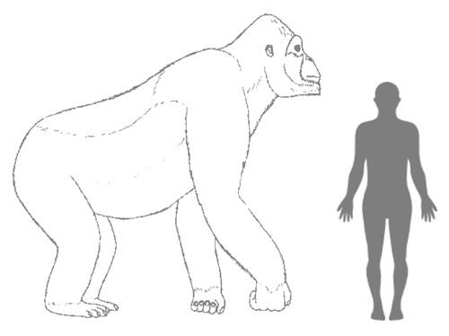 Geschätzte Größe von Giganthopithecus im Vergleich zu einem Menschen. Image credit: © H. Bocherens