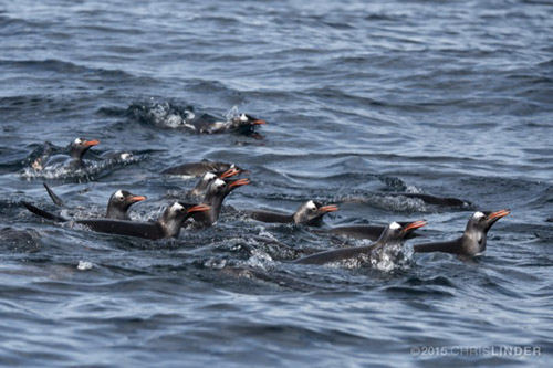 University of Delaware researchers are working to better understand foraging competition between Adelie and Gentoo penguins. Photos courtesy of Chris Linder and the University of Delaware