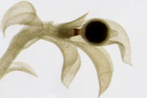Pflänzchen des Laubmooses Physcomitrella patens mit Sporenkapsel. Foto credit: Nelly Horst, Pflanzenbiotechnologie Freiburg