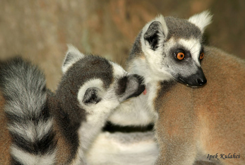 """Grooming (above) is a common social-bonding experience for lemurs and other primates. The researchers found that lemurs reserved vocal exchanges for the animals that they groomed most frequently, essentially """"grooming-at-a-distance"""" to keep in touch when group members get separated. (Photo by Ipek Kulahci, Department of Ecology and Evolutionary Biology)"""