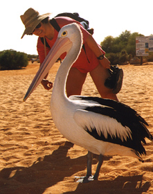 Pelican on the beach. Image courtesy of Daniel Blumstein