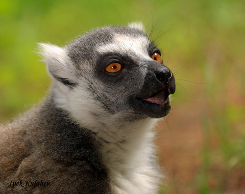 Princeton University research suggests that idle conversation could be a social-bonding tool passed down from primates. The researchers found that ringtailed lemurs (above) use vocalizations far more selectively than previously thought, primarily exchanging calls with individuals with which they have close relationships. The findings could have implications for how scientists understand the evolution of primate vocalizations and human speech. (Photo by Ipek Kulahci, Department of Ecology and Evolutionary Biology)