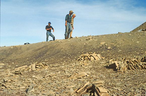 Surveying the site. Two decades ago in Greenland, Stephen Gatesy (black shirt), and colleagues Neil Shubin (green) and Farish Jenkins (tan) looked through thousands of limestone slabs in search of fossils. Photo credit: Mike Shapiro/University of Utah