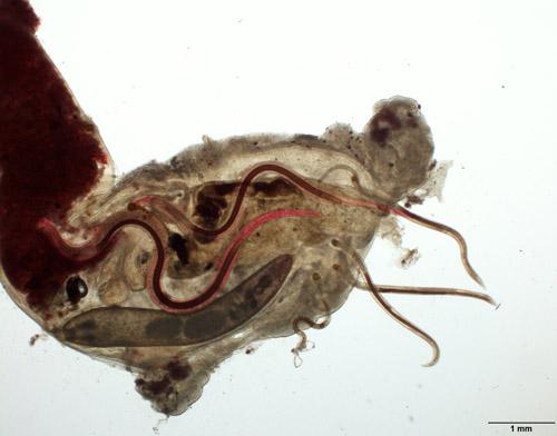 Tropische parasitäre Fadenwürmer und ein einheimischer Kratzer im Magen eines Fisches. Image credit: © Senckenberg