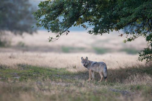 Wolf am frühen Morgen auf dem Truppenübungsplatz Munster Nord in der Lüneburger Heide. Foto credit: Jürgen Borris