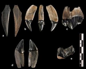 Zähne einer jüngeren Säbelzahnkatze (Homotherium latidens) aus der Fundstelle Schöningen Foto credit: Volker Minkus