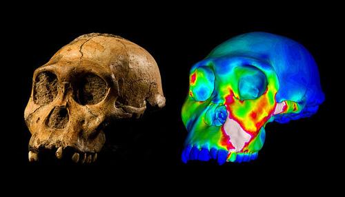 """Der fossile Schädel des Australopithecus sediba Fundes MH1 und ein Finite Elemente Modell des Schädels, das die Belastung während des Beißens auf die Vormahlzähne zeigt. """"Warme"""" Farben zeigen Regionen unter hoher Belastung an, """"kühle"""" Farben jene Regionen unter schwacher Belastung (Image copyright: Brett Eloff, zur Verfügung gestellt von der University of the Witwatersrand)."""