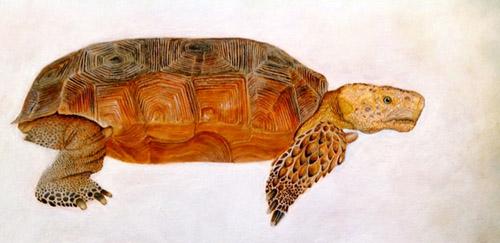 Gopherus evgoodei. Image credit: University of Arizona
