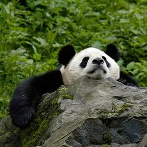 Großer Panda. Image credit: © Bernard de Wetter / WWF