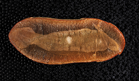 Holotype fossil of Tullimonstrum gregarium, the Tully Monster. This specimen has the best preservation of morphological features, including muscle segments in the body, the eye bar, the tail fin, and the proboscis and jaw folded back over the body. (Image by Paul Mayer / Field Museum)
