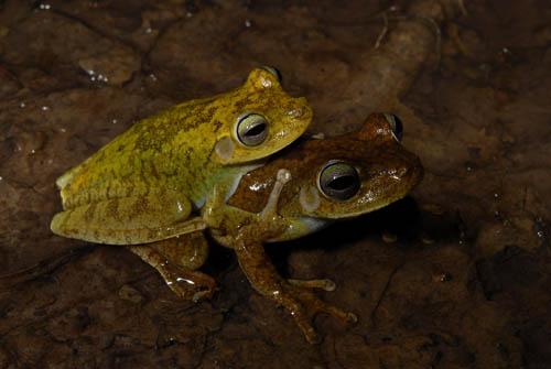 Hypsiboas crepitans – eine der 39 untersuchten Froscharten. Image credit: © Senckenberg