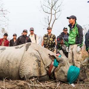 Nashorn-Umsiedlung. Image credit:  © Samir Jung Thapa / Hariyo Ban Program / WWF Nepal