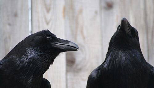 Im Vergleich zu Säugetieren besitzen Vögel eine recht unterschiedliche Hirnstruktur - dennoch sind sie in der Lage komplexe Aufgaben zu meistern (Image copyright: Jorg J.M. Massen).