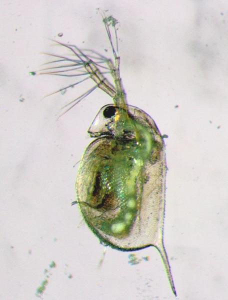 Wasserfloh mit im Darm angesammelten Mikroplas-tikteilchen (weißlich). Foto credit: Saskia Rehse/IGB