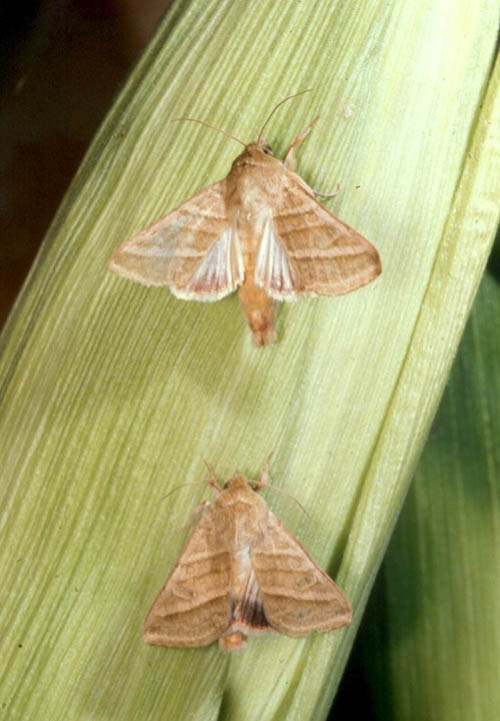 Adult male (top) and female (bottom) H. virescens moths on an ear of corn. PHOTO CREDIT: Charles Hedgcock, University of Arizona