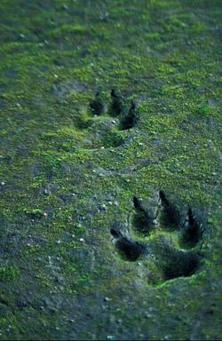 Wolfsspuren im Sand. Image credit: U.S. Fish & Wildlife Service (Source: Commons.Wikimedia)