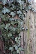 English ivy. Image credit: Ohio State University
