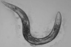 A model of aging. The C. elegans worm serves as a useful model in aging studies, including a new one that reveals the unintended role of a drug. Photo credit: Anne Hart
