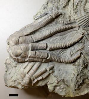 Fossiler Kelch eines Encrinus liliiformis. Maßstab: 1 cm. Abbildung credit: Dynowski et al.