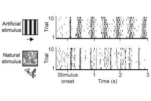 Künstliche und natürliche visuelle Reize rufen unterschiedliche neuronale Aktivitätsdynamiken in der Sehrinde hervor. Hier sind Antworten eines Neurons während einer künstlichen (oben) und natürlichen (unten) Stimulation dargestellt.  Bild Quelle: Jens Kremkow (Click image to enlarge)