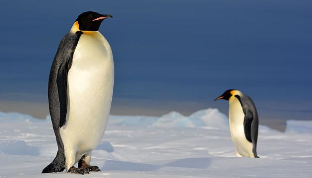 Die gesamte Art dieser Pinguine besteht aus einer einzigen, rund um den Pol zusammenhängenden Population (Image copyright: Fabien Petit).