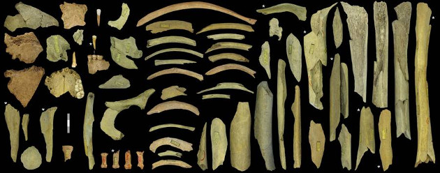 """Diese Sammlung von stark fragmentierten Überresten von Neandertalern aus der """"Troisième caverne"""" von Goyet stammt von mindestens fünf Individuen. Das Alter der mit einem Stern markierten Fragmente wurde direkt mit 40.500 bis 45.500 Jahren bestimmt. Der Maßstab entspricht drei Zentimetern. Foto credit: Royal Belgian Institute of Natural Sciences."""