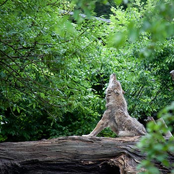 Wolf. Image credit: © Klaus Oppermann / WWF
