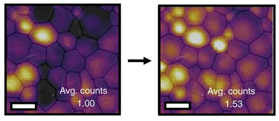 Fluorescence microscopy images of the same perovskite polycrystalline film before (left) and after (right) exposure to artificial sunlight. Shaded areas are regions with a higher number of defects. Those regions become brighter after light exposure, indicating that the number of defects has decreased. Image rcedit: Dane deQuilettes
