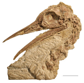 Lithornithid skull from the Green River Formation of Wyoming. Image credit: Sterling Nesbitt.